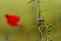 Prickly, stingy and sleepy (AngharadW) Tags: red green purple macro bokeh outdoor angharadw forestfarm dof fieldpoppy poppy stingingnettles stingy prickles prickly thistle