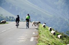 DSC_9357.jpg (Sebmarg) Tags: coldiraty cyclisme cycliste mouton paysbasque larrau nouvelleaquitaine france fr