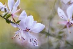 It's still spring (bresciano.carla) Tags: trioplan100mm pentax bokeh flower spring m42 manualfocus white vintage vintageoptica macro