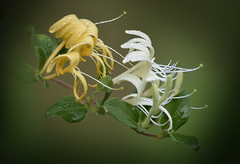 Honeysuckle_7176 (mannmadephotos) Tags: climber fading flowers fragrant honeysuckle japanese japonica lonicera woody yellow invasive