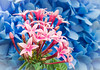Pentas lanceolata (Star Flowers) (Roniyo888) Tags: blue hyacinth background closeup pink pentas lanceolata star rubiaceae