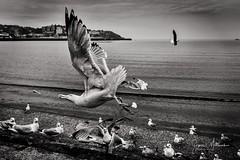 Seagul (Eyes2Me Photography) Tags: torquay bird seagull feeding bw water sand flying chips devon holiday birds