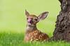 Spots and shade (Khurram Khan...) Tags: whitetaileddeer deer wildlife wildlifephotography wild wwwkhurramkhanphotocom naturephotography nikkor nikon green spring birth babies grass naturephotos lovenature ngc