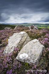 Heather moorland (dtaylorphotography) Tags: afternoon britain british cheviots cloudy color colour coquetvalley coquetdale countryside daytime england fells greatbritain harbottle heather landscape moorland moors nationalpark natural nature nnp nnpa noone northeast northumberland northumberlandnationalpark northumbria openaccess outdoors overcast summer uk unitedkingdom view viewpoint
