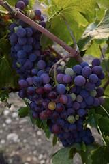 Farbenpracht (Nikonfotografie) Tags: weltenbummler reise urlaub nikond7100 nikon italy pflanzen ladolcevita italien tuscany toskana weinberg trauben rotwein wein vino