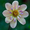 Lil Morning Sunshine (sunrisesoup) Tags: volunteerpark capitolhill seattle wa usa dahlia displaygarden