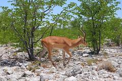 Black-faced Impala (anacm.silva) Tags: blackfacedimpala impala mammal mamífero wild wildlife nature natureza naturaleza africa namibia áfrica namíbia etosha etoshanationalpark halali