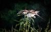 Fischadler schüttelt sich Wasser aus dem Gefieder (cfowallburg) Tags: fischadler müritznationalpark