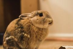 Hurr Derp (Simply Angle) Tags: bunny rabbit animal pet love wabbit bunner bunbun tiger dwarf tigertherabbit omnomnom eating chewing a7ii sonyphotography sonyphotographing sonya7ii sonyimages