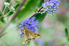 DSC_6638 moth on blue flower (dllarson2009) Tags: kansas bakerwetlands