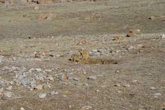 IMG_0663 (y.awanohara) Tags: kailash kora kailashkora ngari tibet may2017 yawanohara