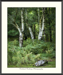 Summer Birches (Chalky666) Tags: tree trees wood woodland forest common silverbirch fern logs southdowns westsussex painterly landscape art