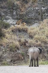 Elephant vs Lion Faceoff (Michael Zahra) Tags: africa serengeti tanzania lion lioness elephant confrontation faceoff fight predator prey canon 7d2 safari travel tourism conservation mammal animal outdoors river tree trees grasslands savannah