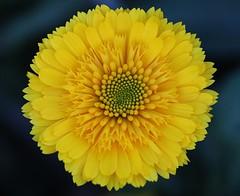 Flower (LuckyMeyer) Tags: fleur flower yellow makro garden summer gelb blume blüte pflanze garten sommer sonne