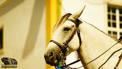 WHITE_HORSE_PORTRAIT (paulomarquesfotografia) Tags: white horse portrait paulo marques coruche cortejo festas tradição retrato cavalo branco sony a7 super albinar 135mm
