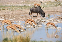 Hot day.... (anacm.silva) Tags: bluewildebeest gnu springbok gazela antílope wild wildlife nature natureza naturaleza mammals mamífero etosha africa namibia etoshapan áfrica namíbia etoshanationalpark coth5 sunrays5