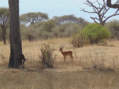 DSC00115 (francy_lioness) Tags: zebra giraffa elefante leonessa bufalo leoni lions tarangirenationalpark parks tanzaniasafari safari africasafari