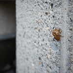 I found the symbol of summer in Japan. Cicada shell on the wall. :) いいところにセミの抜け殻があるものです。
