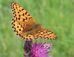 The definition of Beauty (Kevin Pendragon) Tags: nature outdoor orange black wings flight pink green amazing awesome insect thistle summer