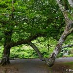 20170606-DSC01493 Large Tree Branch Dunvegan Castle North Skye Scotland thumbnail