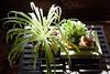 2017 apr - jun misc life 35 (Doctor Casino) Tags: bushwick morning sunlight plant fern leaves spritzer