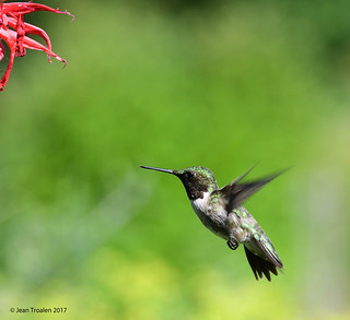 Colibri à gorge rubis ♂ / Ruby-throated Hummingbird