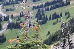 Pines (Bella Lisa) Tags: mountrainiernationalpark sourdoughmountains washington sunrisevisitorcenter degepeak mtrainier emmonsvista curlyeverlasting wildflowers wilderness nationalpark washingtonstate sunsetpoint hiking emmonsglacierevergreens pines pinetrees
