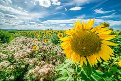 Tournesol (Davy Vy) Tags: fleur fleurs champ champs tournesol tournesols flower field flowers sunflower sunflowers