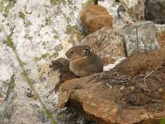 A pika on the rock, mount Revelstoke, BC (Alta alatis patent) Tags: mountrevelstoke pika rock