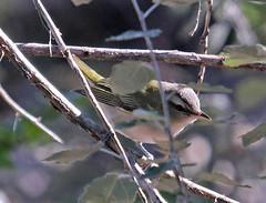 CAE005520a (jerryoldenettel) Tags: 170909 2017 nm northroosevelttrap passeriformes redeyedvireo rooseveltco vireoolivaceus vireonidae bird passerine vireo