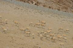 IMG_0394 (y.awanohara) Tags: tibet wildlife scenery ngari may2017