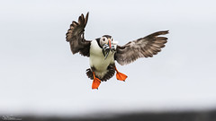 Coming In (Steve C Waddingham) Tags: stevenwaddinghamphotography bird eels wild wildlife nature northumberland flight fish