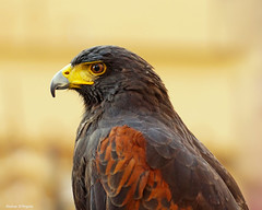 Poiana di Harris (Darea62) Tags: hawk harris bird parabuteounicinctus nature animal buzzard plumage rapacious beak eye