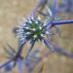 Billardiere's Eryngo (Alta alatis patent) Tags: botanicalgardenutrecht botanicalgarden flower kruisdistel eryngiumbillardieri india