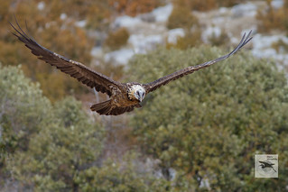 Lammergeier_adult_flight_nictating_w_1099