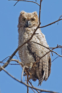 South American Great Horned Owl (Bubo virginianus nacurutu) - juvenile