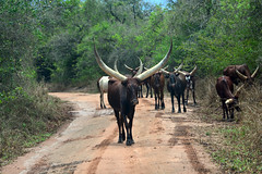 Ankole cattle with their huge horns in the Uganda countryside (supersky77) Tags: cattle cow mucca vacca mandria uganda africa ankole ziwa ziwarhinosanctuary