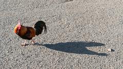 Flattering Shadow (_quintin_) Tags: kauai chicken bird shadow