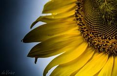 Rainy sunflower . . .  (Explore) (Dr. Farnsworth) Tags: flower sunflower rain drops yellow sky closeup macro traversecity mi michigan summer august2017