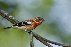 Rose-breasted Grosbeak (fall plumage) (Earl Reinink) Tags: bird animal nikon d850 rosebreastedgrosbeak huudraedia earlreinink earl reinink