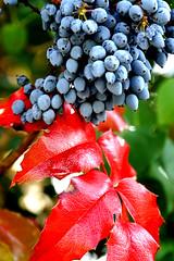 eyecatcher on my morningwalk (Rosmarie Voegtli) Tags: beeren plant berries red leaf rot rosso rouge nature color farben coleurs inexplore odc ourdailychallenge unexpecteddelights