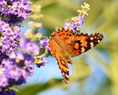 Flutter-by (AuntNett) Tags: nikon d7200 butterfly insect nature orange