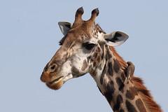 20170616_2599_Masai Mara_Girafe Masai (fstoger) Tags: kenya masaimara viesauvage wildlife safari girafe girafemasai masaigiraffe afrique africa