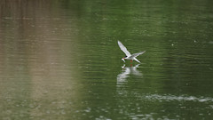 Tern fishing (1) : picking the fish (Franck Zumella) Tags: oiseau bird tern sterne gull mouette fishing pecher fish fly flying voler lake lac