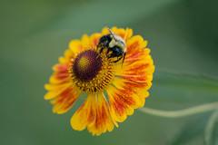 IMG_8050 Bee on Sneezeweed (suebmtl) Tags: bee pollinator pollination pollen quebec canada flower sneezeweed heleniumautumnale red yellow closeup macro