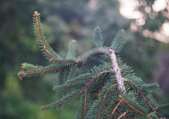 DSC06457 (Old Lenses New Camera) Tags: sony a7r ernstleitz leitz leica hektor 100mm f25 projectionlens plants garden tree branches pineneedles pinecone weepingnorwayspruce