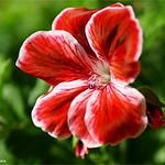 Pelargonium #4 thumbnail