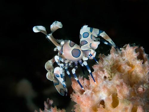 CelebesDivers - underwater 79 (Hymenocera elegans)