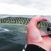 Rough rider (Nicolas Valentin) Tags: mackerel