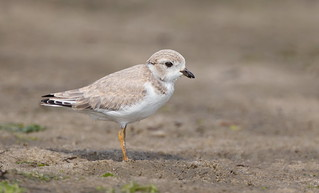 Piping Plover juvenile Nickerson beach ny.